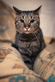 Brown domestic cat relaxing on a cushion or a pillow