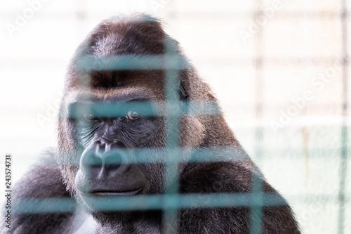 Portrait d'un gorille en captivité