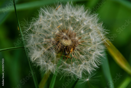 dandelion on green background, digital photo picture as a background - 243575123