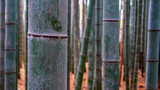 Fototapeta Bambus - close up of a bamboo plant at arashiyama bamboo forest in kyoto, japan © chris