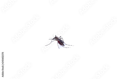 Mosquito isolated on white background - 243602378