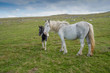 Wild horse with foal in the Bodmin Moor in Cornwall, England.