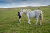 Wild horse with foal in the Bodmin Moor in Cornwall, England. - 243604797