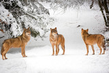 Wolves in winter in the forest - 243604980