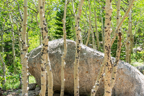Birch trees off Glacier Creek Trail to Alberta Falls in Rocky Mountain National Park, Colorado - 243609745