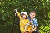 children in the garden harvest fruit - 243611771