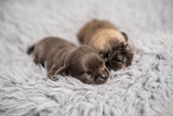 Little chihuahua breed puppies on coverlet - 243612134