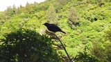 Juvenile Tui bird pollinating flax plants in Karori, Wellington. Slow Motion - 243612754