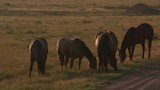 Horses in field at sunrise, Wyoming - 243616740