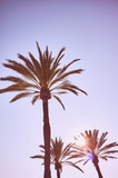 Looking up at palm trees at sunset, color toned summer vacation concept picture with lens flare. - 243622393