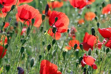 poppies flowers meadow countryside spring season