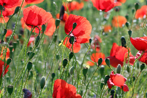 poppies flowers meadow countryside spring season - 243629951