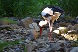 une cigogne dans le ruisseau en Alsace - 243632542