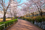 Blooming sakura cherry blossom alley in park  - 243636518