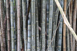 Details of bamboo trunks