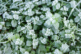Winter nature background with leaves of wild peppermint covered with white hoar frost and ice crystal formation - 243647575