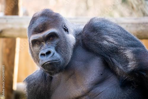 Portrait d'un gorille des plaines