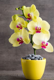 Yellow orchid on the grey background. - 243650975