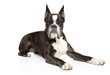 German Boxer dog resting