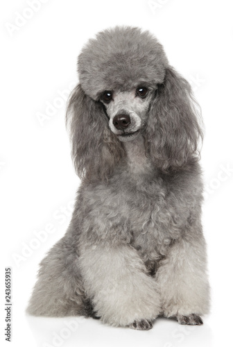 Gray Poodle on white background front view
