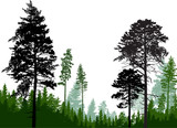 evergreen trees silhouettes in forest on white