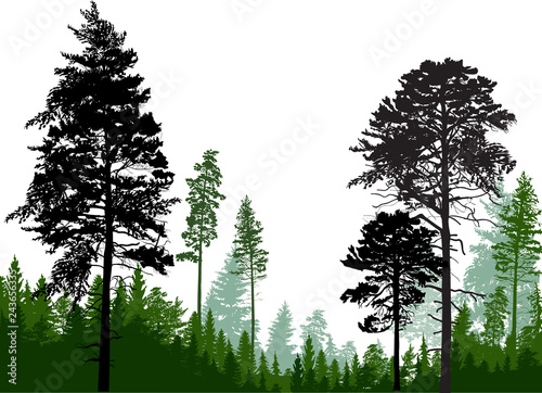 evergreen trees silhouettes in forest on white - 243656335