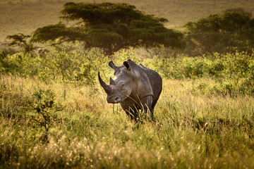 Breitmaul Nashorn in Hluhluwe-iMfolozi, Südafrika
