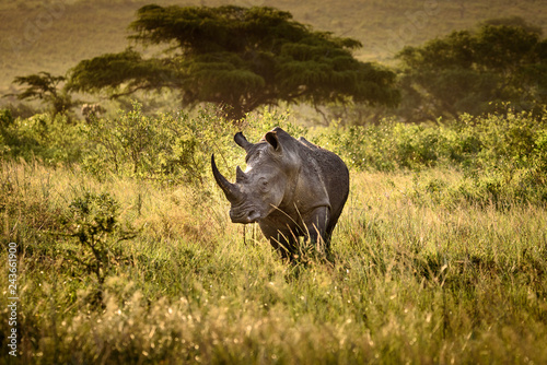 Poster Breitmaul Nashorn in Hluhluwe-iMfolozi, Südafrika