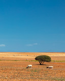 Minimalistic landscape with 2 grazing sheep and a lone tree in a dry tilled land with a clear blue sky - 243663320