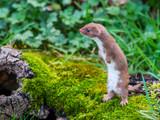 Weasel or Least weasel (mustela nivalis - 243663918