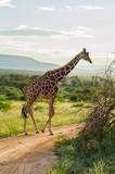 Giraffe crossing the trail in Samburu - 243664151