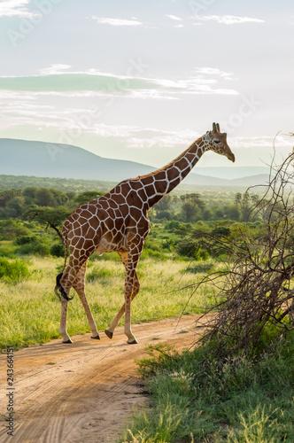 Giraffe crossing the trail in Samburu