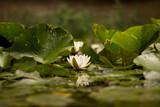 water lilies in the lake