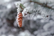 Pine branch with cones covered with snow and frost.