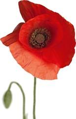 Red poppy flower - isolated
