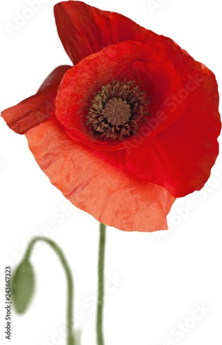 Red poppy flower - isolated - 243667323
