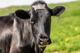 Curious black cow looking at camera