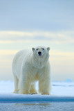 Polar bear on drift ice edge with snow and water in Norway sea. White animal in the nature habitat, Europe. Wildlife scene from nature. Dangerous bear walking on the ice, beautiful evening sky. - 243671544
