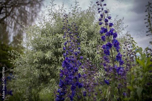 Lila Blumen im Garten - 243671936