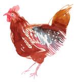 Chicken illustration. Hen watercolor hand-painted illustration