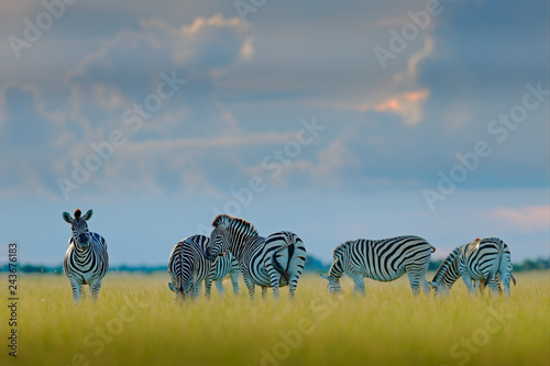 Group of zebras. Burchell's zebra, Equus quagga burchellii, Moremi, Okavango delta, Botswana, Africa. Wild animal on the green meadow. Wildlife nature. Zebras herd with blue storm sky and white clouds - 243676183