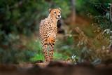 Cheetah on gravel road, in forest. Spotted wild cat in nature habitat. Cheetah in green vegetation, Okawango, Botswana in Africa. Wildlife scene from African nature. - 243677116