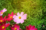 Fototapeta Kosmos - Cosmos flowers in the garden © sirapat