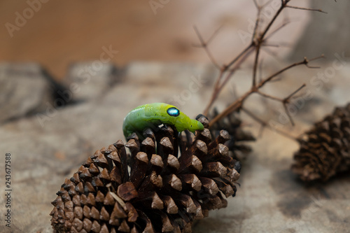 Green worm caterpillar animals isolate on wood and pine cone blur background