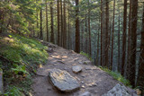 Old coniferous forest with green moss covered with stone soil. forest trail