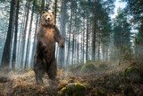 Brown grizzly bear standing on two legs in the forest. - 243685504