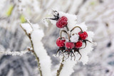 bunch of wild rose under the snow. closeup - 243698798