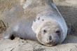 Close up portrait of one female elephant seal hauled out on the beach, looking at viewer.