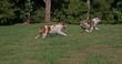 English Bulldog, Females running on Grass, Slow Motion 4K