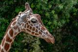 Tanzania giraffe close up portrait isolated on green - 243711707